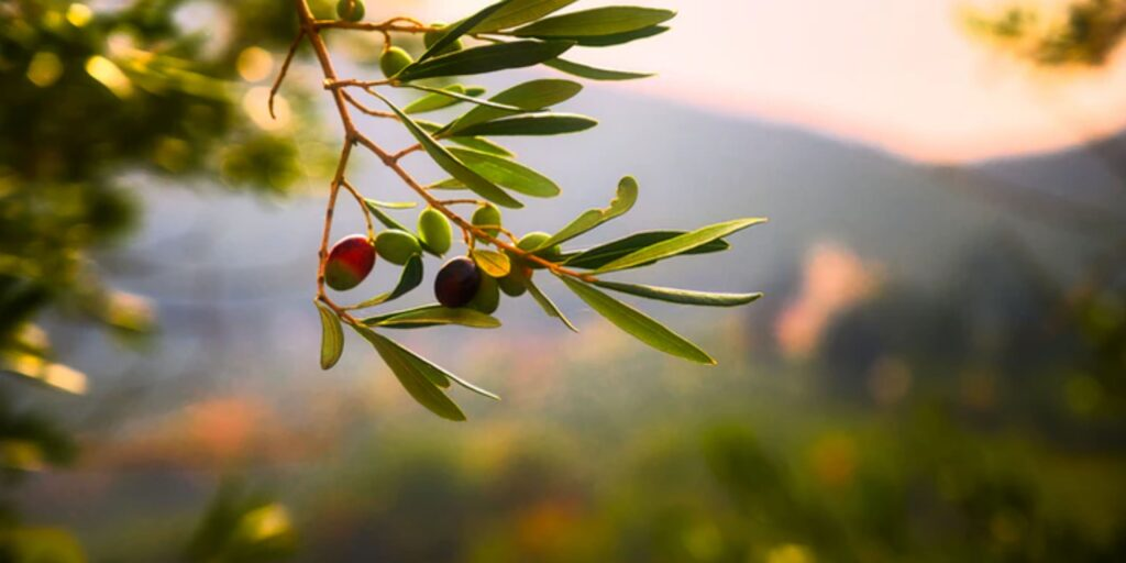 Olive oil helps to improve brain function